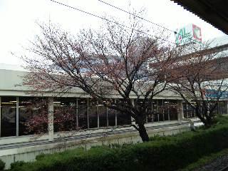 JR大津駅の桜
